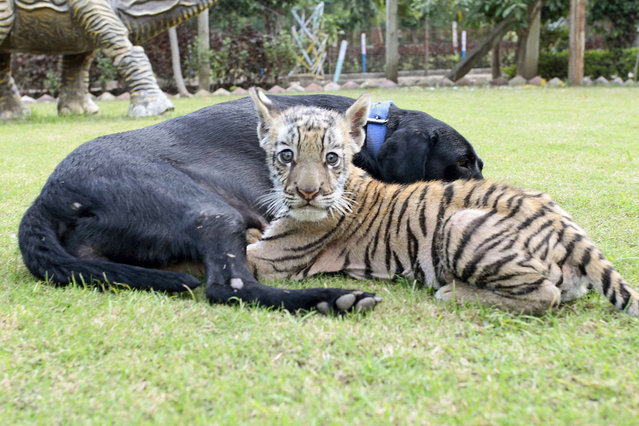 An adorable tiger cub has been adopted by a dog – after its mother abandoned it. The lone tiger was rejected by its mother at a zoo in Indore, India – forcing keepers to look for a surrogate mother to feed the dog. And after introducing the cub to Genie, the black labrador, she instantly took to the cub. (Photo by Caters News)