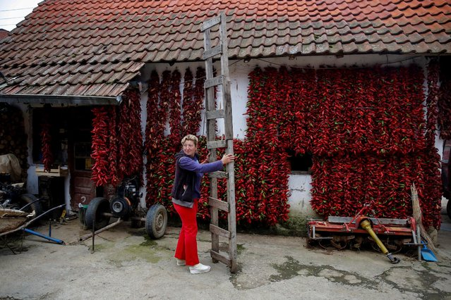 A woman holds a ladder as bunches of paprika hang on the wall of her house to dry in the village of Donja Lakosnica, Serbia October 6, 2016. (Photo by Marko Djurica/Reuters)