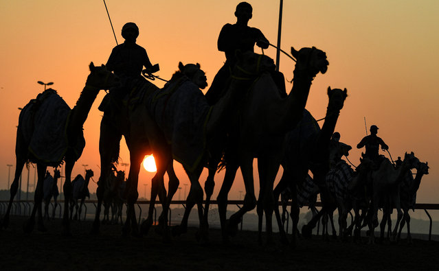 Handlers herd racing camels equipped with robot jockeys during a race at Dubai's al-Marmoom heritage village, in the United Arab Emirates, on September 28, 2020. (Photo by Karim Sahib/AFP Photo)