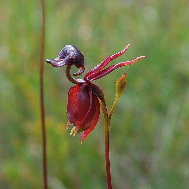 The Flying Duck Orchid