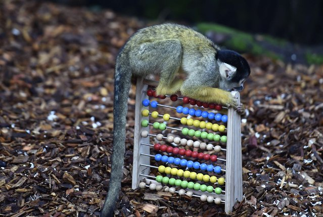 A black-capped squirrel monkey sits on an abacus during the stock take at London Zoo in London, January 5, 2015. (Photo by Toby Melville/Reuters)