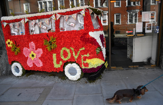 A dog is walked past a floral display outside of a business taking part in the Chelsea In Bloom festival in London, Britain on May 22, 2018. (Photo by Toby Melville/Reuters)
