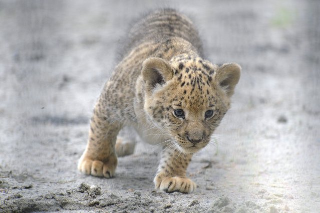In this Tuesday, June18, 2013 photo, a month-old liliger cub walks in Novosibirsk Zoo. The cub's mother is Zita, a liger – half-lioness, half-tiger, and father is a lion, Sam. (Photo by Ilnar Salakhiev/AP Photo)