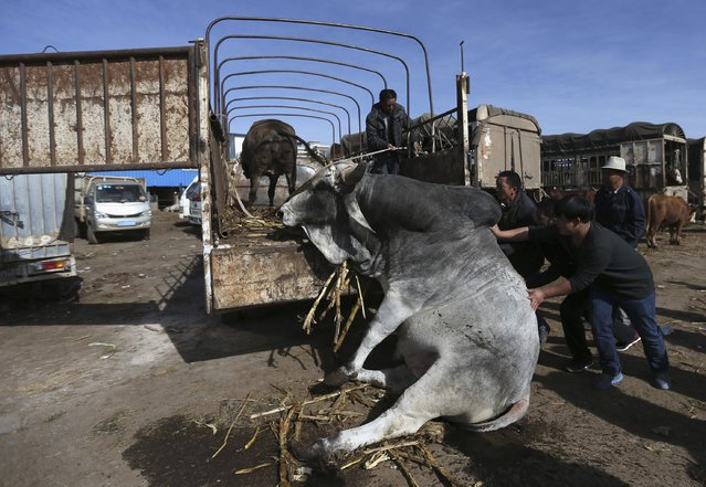 People try to push up a bull which fell over, at a livestock market in Songming, Yunnan province, January 23, 2015. (Photo by Wong Campion/Reuters)
