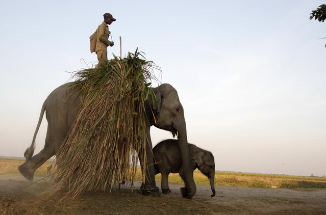 Forest officials transport food for elephants on elephant back at Kaziranga National Park on January 22, 2015.  Elephants are one of the major attractions at Kaziranga National Park, which is home to approximately 1300 of the animals. Elephant back safaris are a popular means of touring the wildlife reserve, which also boasts the highest density of tigers per square kilometer in the world. (Photo by UB Photos/Barcroft India)