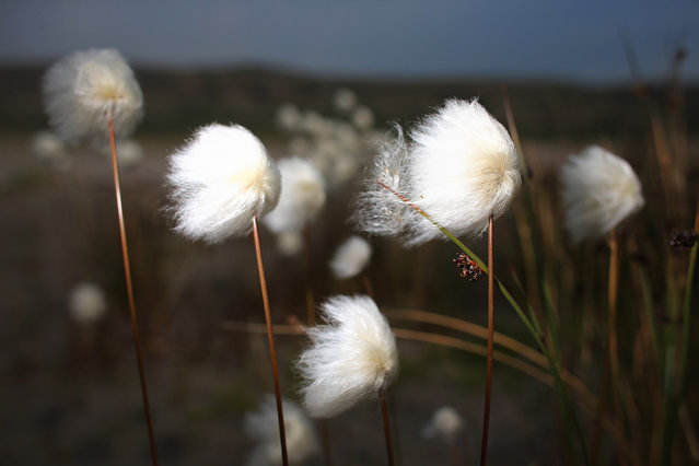 Flowers in Kangerlussuaq, Greenland, photographed on July 14, 2013. (Photo by Joe Raedle/Getty Images via The Atlantic)