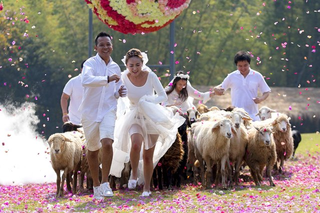 Couples (L-R) Chaiyut Phuangphoeksuk and Prontathourn Pronnapatthun, and Nichapatr Koomsombut and Pirat Rungthongoran run from sheep during their wedding ceremony at a resort in Ratchaburi province February 13, 2015. Three Thai couples took part in the wedding ceremony arranged by a resort themed around fun activities ahead of Valentine's Day. (Photo by Athit Perawongmetha/Reuters)