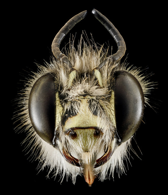 Male, Anthophora plumipes, introduced into Maryland from Japan in the 1980s. (Photo and caption by Sam Droege/USGS Bee Inventory and Monitoring Lab)
