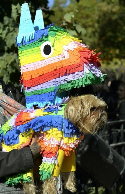 A dog dressed as a pinata participates in the Halloween Dog Parade in New York. (Photo by Timothy Clary/Getty Images)