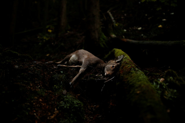 A deer lies in a forest after being shot by a hunter outside Oi, Fukui Prefecture, Japan, November 17, 2016. (Photo by Thomas Peter/Reuters)
