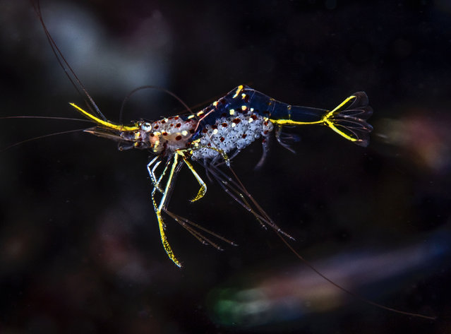 The fragile Degrave's cleaner shrimp. (Photo by Philip Hamilton/The Guardian)