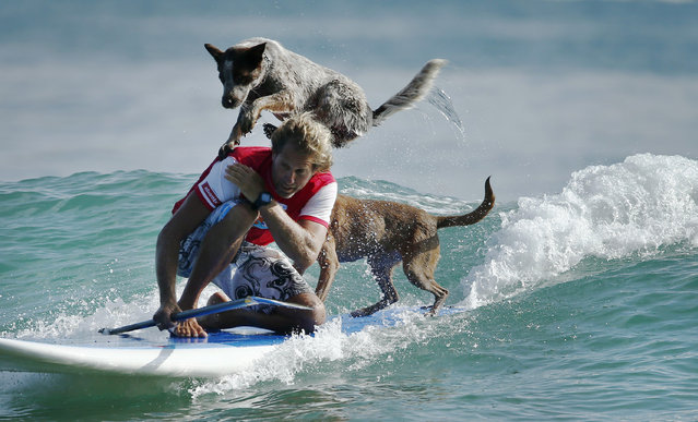 Australian dog trainer and former surfing champion Chris de Aboitiz rides a wave with his dogs Millie (top) and Rama off Sydney's Palm Beach, February 18, 2016. (Photo by Jason Reed/Reuters)