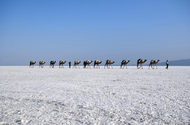 A camel caravan carrying salt mined by hand is led across a salt plain in the Danakil Depression on January 22, 2017 near Dallol, Ethiopia. (Photo by Carl Court/Getty Images)