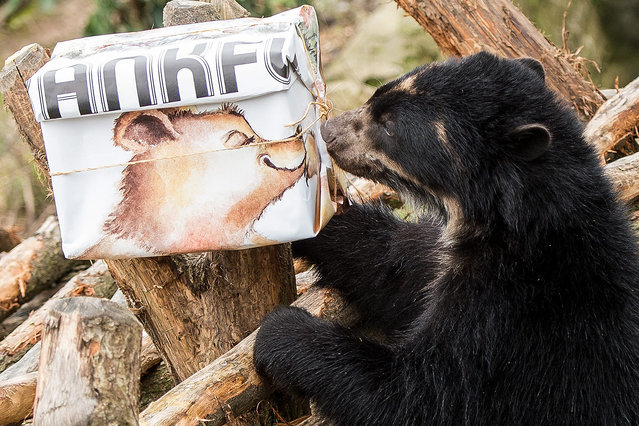 """A young spectacled bear sniffs its goodbye present in the zoo in Frankfurt am Main, Germany, 03 March 2016. The young spectacled bear brothers """"Tupa"""" and """"Sonco"""" are moving to the Noah's Ark Zoo Farm in England in mid-March as recommended by the European Endangered Species Programme (EEP). (Photo by Alexander Heinl/EPA)"""