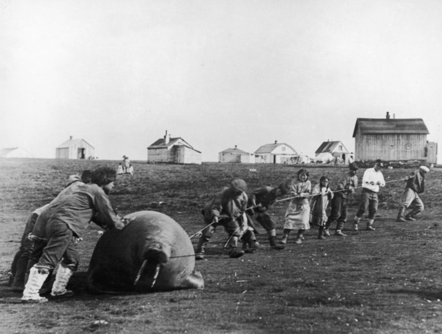 A group of Inuit villagers dragging home a walrus, Alaska, circa 1930. (Photo by Hulton Archive/Getty Images)