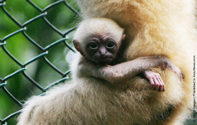 Newborn White-Cheeked Gibbon Nomascus