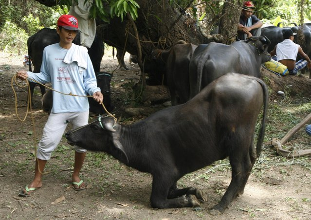 A farmer practices making his carabao kneel before the start of the annual Carabao Festival in Pulilan, Bulacan in northern Philippines May 14, 2015. (Photo by Lorgina Minguito/Reuters)