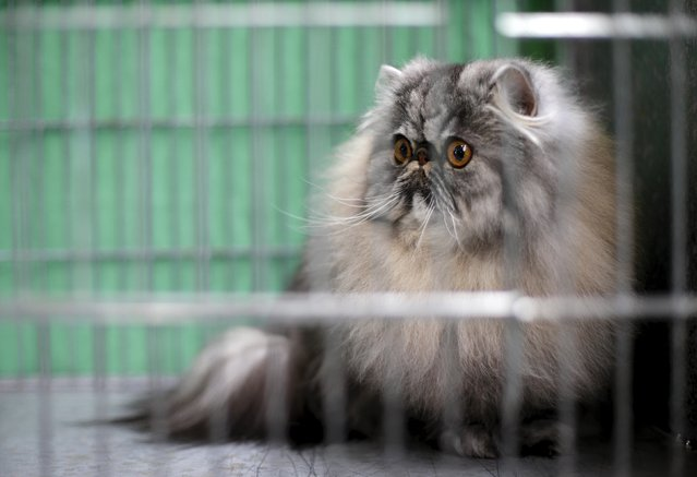 A cat is seen in a cage backstage before the prize ceremony during the Mediterranean Winner 2016 cat show in Rome, Italy, April 3, 2016. (Photo by Max Rossi/Reuters)