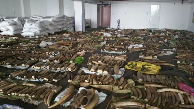 Rows of raw ivory tusks that were seized by Singapore authorities are displayed in this handout photo provided on May 19, 2015 by Agri-Food and Veterinary Authority of Singapore (AVA). The AVA and Singapore Customs and Immigration and Checkpoints Authority (ICA) on Tuesday said a shipment of about 3.7 tonnes of illegal ivory was seized. The shipment, which was declared as tea leaves, was seized from two 20-foot containers from Kenya in transit through Singapore for Vietnam. (Photo by Reuters/Agri-Food and Veterinary Authority of Singapore)