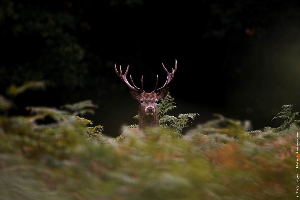 Autumn Deer Rut In Richmond Park