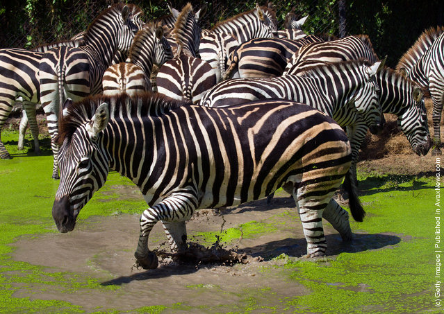 Zebras stand in the recently flooded Safari Park located at Safari World in Bangkok, Thailand