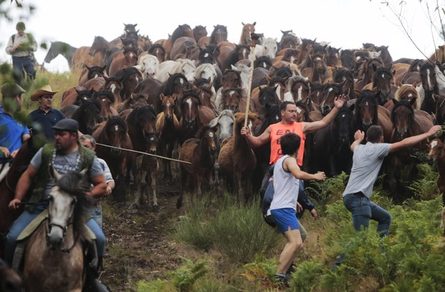 """Horses gallop as they are rounded up during the """"Rapa das Bestas"""" traditional event in the village of Sabucedo, northwestern of Spain July 4, 2015. On the first weekend of the month of July, hundreds of wild horses are rounded up, trimmed and groomed in different villages in the Spanish northwestern region of Galicia. (Photo by Miguel Vidal/Reuters)"""
