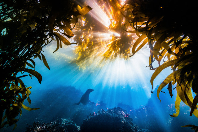 Burst by Tyler Schiffman, United States: California sea lion framed by kelp beds in Monterey Bay. Grand prize winner. (Photo by Tyler Schiffman/The Nature Conservancy Global Photo Contest 2019)