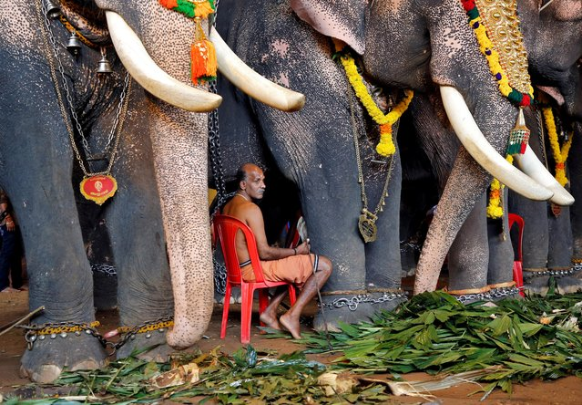 A mahout sits between elephants which are participating in festivities marking the annual harvest festival of Onam at a temple on the outskirts of Kochi, India, September 11, 2019. (Photo by Sivaram V/Reuters)