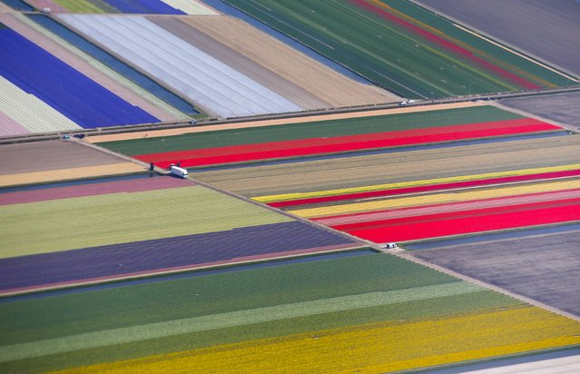 An aerial view of flower fields is seen near the Keukenhof park, also known as the Garden of Europe, in Lisse, The Netherlands, in this April 15, 2015 file photo. (Photo by Yves Herman/Reuters)
