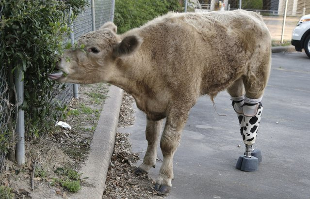 Wearing his new prosthetic legs Hero gets a taste of shrubbery Wednesday, May 21, 2014, in Houston. The abandoned calf rescued from a Virginia farm a year ago and brought to Texas after it nearly died is getting permanent prosthetics to replace back hooves that had to be amputated because of frostbite. (Photo by Pat Sullivan/AP Photo)