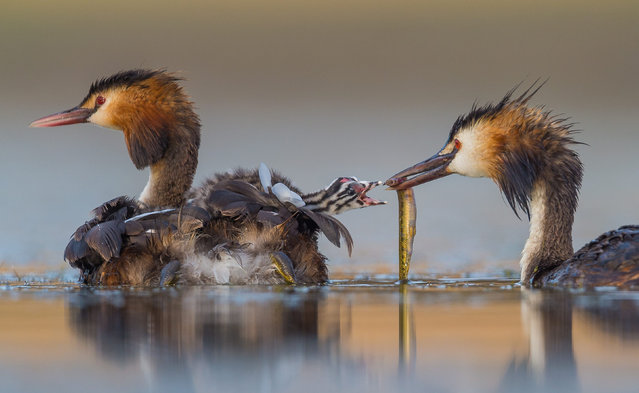 A great crested grebe feeds a chick sitting on its mother's back on a lake in Cáceres, Spain. (Photo by Jose Luis Ruiz/Solent News & Photo Agency)