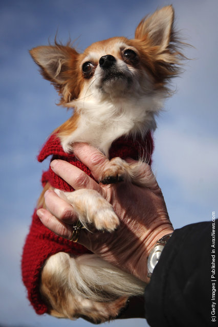 Chico the Chihuahua is held aloft by his owner on Day one of Crufts at the Birmingham NEC Arena