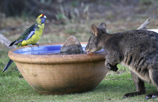 A green rosella and a wallaby, known as a Pademelon, eye off as they drink from a water bowl put out for thirsty wild animals at a back-yard in Kayena, in northern Tasmania, 01 February 2019. Australia recorded its hottest month on record in January; it was also the hottest and driest month on record for the Australian island state of Tasmania. (Photo by Barbara Walton/EPA/EFE)