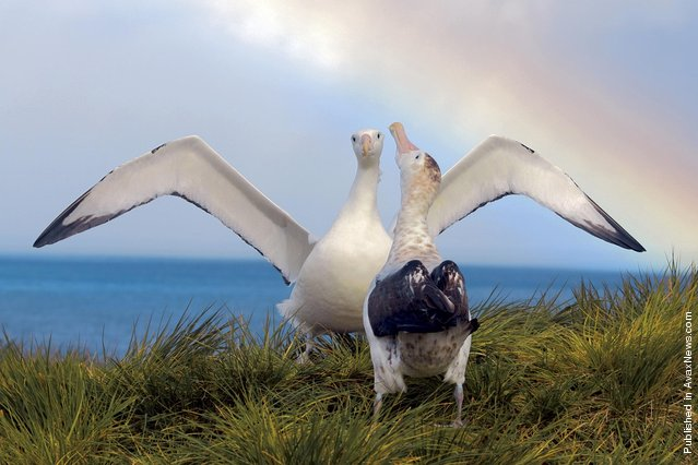 Wandering albatrosses, reaching a length of 117 cm, virtually all life in the sea. On the ground they land just to, to take part in the marriage ritual and hatching eggs