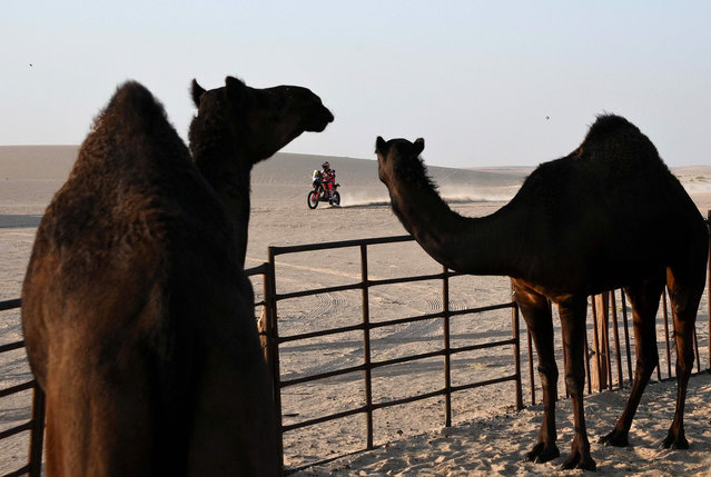 A biker rides past camels as he competes during the Stage 10 of the Dakar 2020 between Haradh and Shubaytah, Saudi Arabia, on January 15, 2020. (Photo by Franck Fife/AFP Photo)