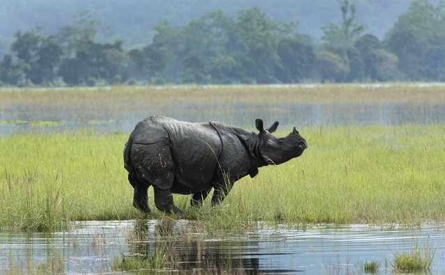 In this Saturday, July 8, 2017, photo, a One horned Rhinos wades through flooded Kaziranga national park in Kaziranga, 250 kilometers (156 miles) east of Gauhati, India. Police are patrolling for poachers as rhinoceros, deer and buffalo move to higher ground to escape floods inundating an Indian preserve. Kaziranga National Park has the world's largest population of the one-horned rhinoceros and is home to many other wildlife. (Photo by Anupam Nath/AP Photo)