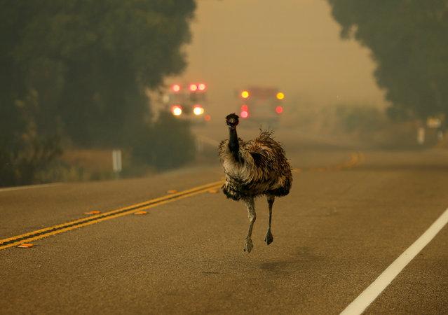 An emu runs to escape an approaching wildfire as it burns near Potero, California, U.S. June 20, 2016. (Photo by Mike Blake/Reuters)