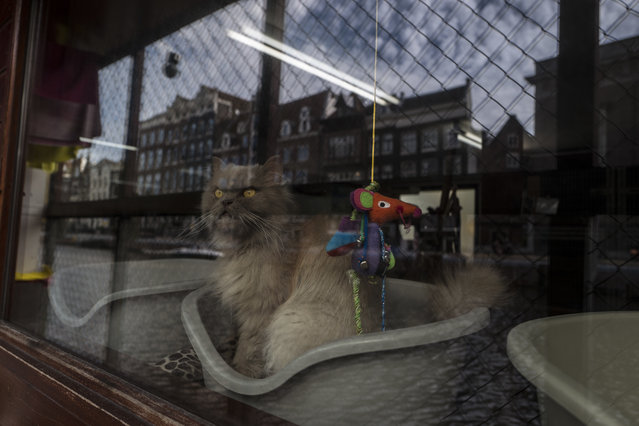 In this Wednesday, August 2, 2017 photo, Kasumi, a 9-year-old-cat looks out the window of the boat at the Catboat shelter in Amsterdam, Netherlands. (Photo by Muhammed Muheisen/AP Photo)
