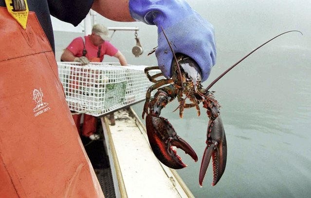 In this undated file photo, a sternman holds a lobster caught off South Bristol, Maine. The U.S. Senate says September 25 should once again be designated as National Lobster Day in honor of New England's most celebrated crustacean. New England senators made the request last month, citing the lobster's cultural and economic importance to the region. (Photo by Robert F. Bukaty/AP Photo)