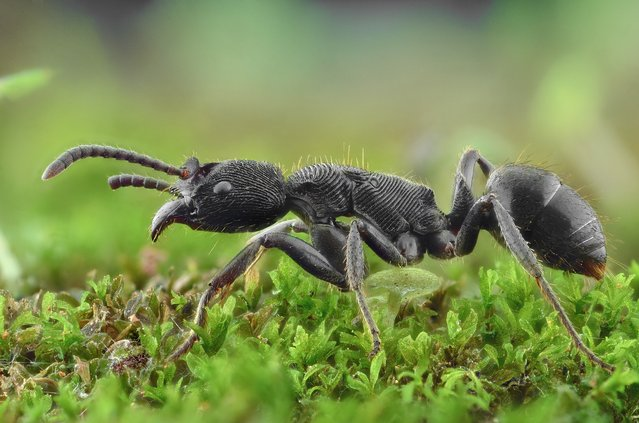 A close-up shot of a black ant on August 2014, in Banten, Indonesia. Wildlife photographer takes incredible close-up images of tiny bugs. Yudy Sauw has captured close-up images of creepy crawlies – revealing their disturbing faces. The insects have an assortment bulging eyes and sharp pincers and look grotesque in the face-to-face shots. The miniature-models include a soldier fly, a red ant and a longhorn beetle. (Photo by Yudy Sauw/Barcroft Media)