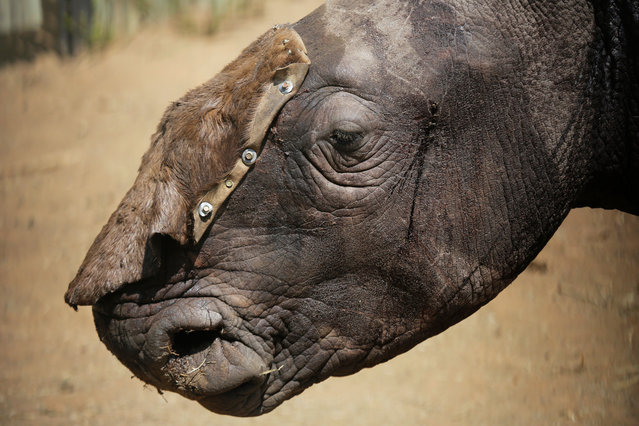A three-years-old White male Rhino Wasinda stands alone in a boma with a temporary hid covering his open wounds prior to being treated by Saving the Survivors vets at a private game farm in the Free State Province, Clocolan, South Africa, 19 September 2017. Wasinda, Zulu for 'Survivor' was poached two days earlier and had both his horns hacked off by a saw. After a closer examination it appears he was shot two times to the head by a 375 rifle with both shots traveling through his head. Most concerning for the vets was that Wasinda may have been blinded by the incident. South Africa has the world's largest population of Rhinos in the world. However over the past nine years a staggering 6,115 rhinos have been killed by poachers seeking their horns for sale to the lucrative traditional healing market in the Far East. In a ground-breaking and world-leading initiative, Dr Marias and Dr Glyphis from 'Saving the Survivors' race to injured and poached Rhinos once they have been called by conservation groups or private rhino owners in an attempt to save the animals and heal their often horrifying open wounds. (Photo by Kim Ludbrook/EPA/EFE)