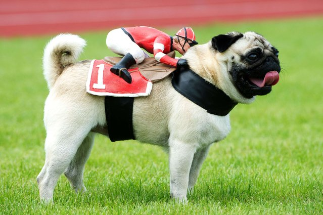Pug dog Tyson wears a rider figure aside the 50m pug dog race in Wernau, southern Germany, on September 7, 2014. 160 animals took part in the third pug dog and bulldog race. (Photo by Sebastian Kahnert/AFP Photo)