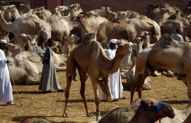 Camel traders wait for customers at the Birqash Camel Market, ahead of Eid al-Adha or Festival of Sacrifice, on the outskirts of Cairo September 29, 2014. (Photo by Amr Abdallah Dalsh/Reuters)
