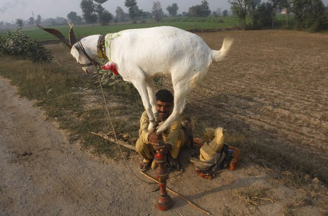 The goats are known to be good climbers, but this one is taking the climbing thing to a whole new level. It clambered on the tip of its owner's stick, as a part of the roadside performance for a quick coin, on the outskirts of Faisalabad, Pakistan, November 5, 2012. (Photo by Fayyaz Hussain/Reuters)
