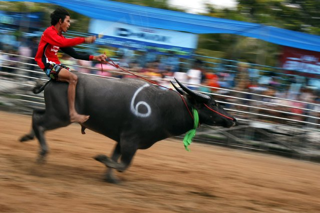 A jockey competes in Chonburi's annual buffalo race festival, east of Bangkok, October 7, 2014. (Photo by Chaiwat Subprasom/Reuters)