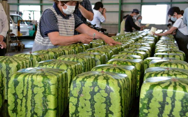 Japan Agricultural Cooperation Kagawa employees arrange cubic watermelons to be shipped within the country, in Zentsuji city, Kagawa prefecture, western Japan, Wednesday, June 24, 2020. The about 18x18x18-centimeter (7x7x7-inch) square watermelons, grown in transparent square containers, will be sold for about 10,000 yen ($94) each. (Photo ny Maiko Hirai/Kyodo News via AP Photo)