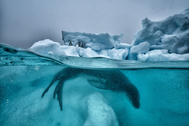 A leopard seal patrols the ice while penguins huddle for safety out of the water in Antarctica. Ocean photographers of all disciplines and experience levels – amateurs and professionals alike – are invited to submit their most impactful imagery for the Ocean Photography awards. (Photo by Cristina Mittermeier/The Guardian)