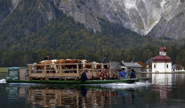 Bavarian farmers transport their cows on a boat over the picturesque Lake Koenigssee October 3, 2015, as they pass the lake's landmark, the chapel of St. Bartholomae that dates back to the 12th century. Before the winter season approaches the farmers have to drive their cattle down from their Alpine meadows to a narrow valley that can only be reached by boat. (Photo by Michael Dalder/Reuters)