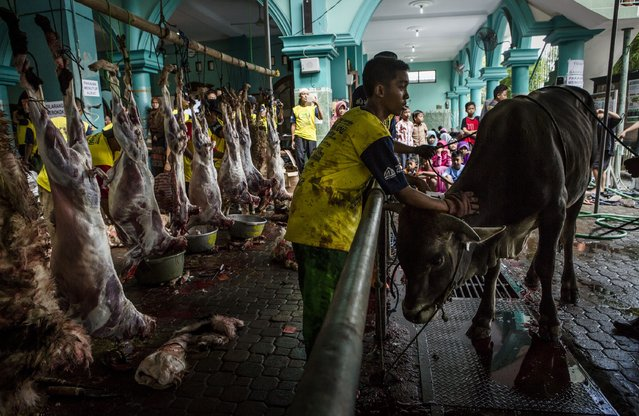 An Indonesian Muslim prepares a cow for slaughter during celebrations for Eid al-Adha at Jogokaryan mosque on September 12, 2016 in Yogyakarta, Indonesia. (Photo by Ulet Ifansasti/Getty Images)