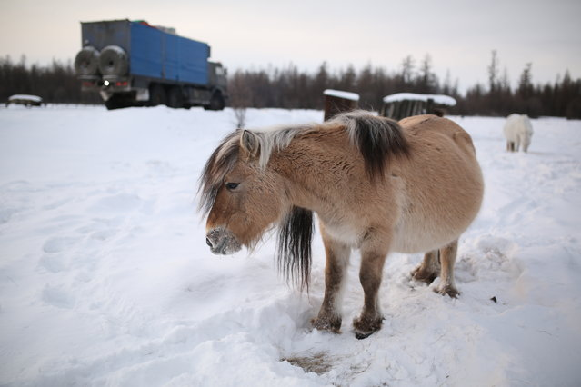 Yakutian horses, known for their ability to live outdoors through the bitter cold of Yakutian winters. The horses feed through the winter by digging through the snow with their hooves and eating the frozen grass below. (Photo by Amos Chapple/Courtesy Images/RFE/RL)